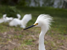 White egret  with ruffled feathers protecting territory. White Crane Royalty Free Stock Images