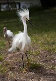 White egret  with ruffled feathers protecting territory. White Crane Royalty Free Stock Photography