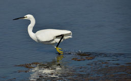 White egret running. White heron running on the lake surface Stock Image