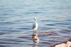 White egret a the sea shore Royalty Free Stock Images
