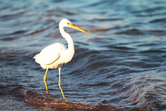 White egret a the sea shore Royalty Free Stock Image
