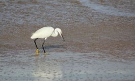 White egret in sea water Royalty Free Stock Photos