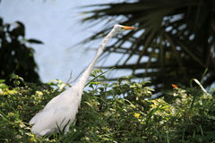 White egret searching for food. White egret searches for food in bushes near a lake. Miami, Florida stock image
