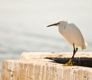 White Egret On A Seawall Royalty Free Stock Photography
