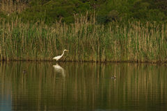 White egret and shadow Royalty Free Stock Photography