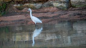 White egret in shallow river water stock images