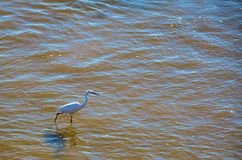 White egret on the shore of the river Royalty Free Stock Photography