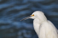 White Egret at the Shore Stock Images