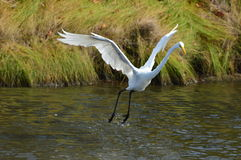 White Egret soaring above water. In the summer Royalty Free Stock Image