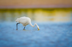 White egret with soft background stock images
