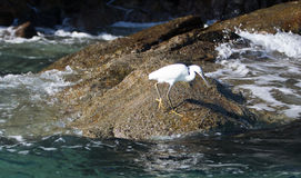 White Egret stalking prey on Pelikan rocks at Lands End in Cabo San Lucas Baja Mexico Stock Photo