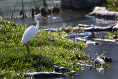 White egret stand Stock Photography