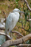 White Egret standing Royalty Free Stock Images