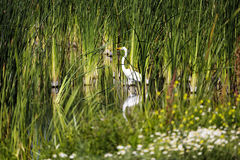 White Egret Standing Among Green Reeds Wetlands Royalty Free Stock Images