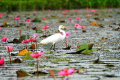 White egret standing on the lotus blossom pink Stock Images