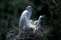 White egret standing on nest Stock Photography