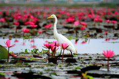 White egret standing on the pink lotus blossom pink Royalty Free Stock Image