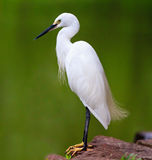 White Egret standing by the river Stock Images