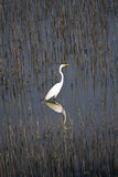 White Egret Standing In Wet Lands Reflection Stock Image
