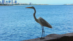 White Egret staring at the bay, with Rio de Janeiro city in the background stock footage
