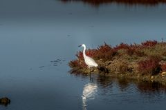 White egret strolls through the swamp in the ornithological rese. Rve near Bordeaux named Reserve Ornitologique du Teich Royalty Free Stock Photography