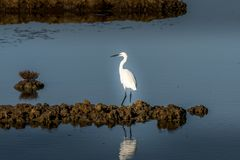 White egret strolls through the swamp in the ornithological rese. Rve near Bordeaux named Reserve Ornitologique du Teich Stock Photos