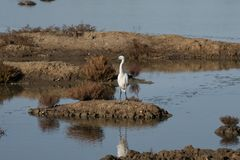 White egret strolls through the swamp in the ornithological rese. Rve near Bordeaux named Reserve Ornitologique du Teich Royalty Free Stock Image