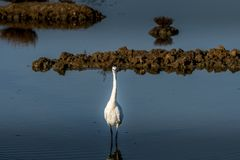 White egret strolls through the swamp in the ornithological rese. Rve near Bordeaux named Reserve Ornitologique du Teich Royalty Free Stock Photo
