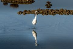 White egret strolls through the swamp in the ornithological rese. Rve near Bordeaux named Reserve Ornitologique du Teich Royalty Free Stock Images