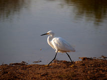 White Egret at Sunset. A White Egret strolls along the waters edge at sunset on a riparian lake in Gilbert Arizona stock photography
