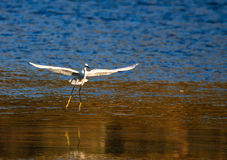 A egret Stock Photo