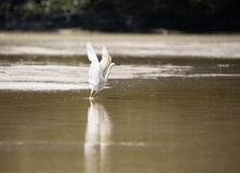 White egret taking flight. With reflection in shallow water, Celustun, Mexico Stock Images