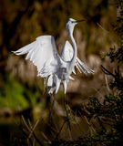 White egret with toes pointed Stock Photos