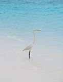 White Egret on a tropical beach Stock Photography