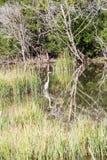 White Egret Wading Through Marsh Royalty Free Stock Photo