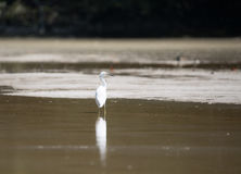 White egret. Wading with reflection in shallow water, Celestun, Mexico Stock Image