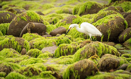 White Egret. Wading among seaweed covered rocks at low tide Royalty Free Stock Image