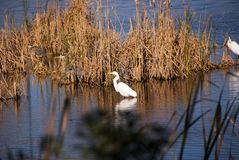 White Egret Wading in Shallow Wetlands in South Carolina royalty free stock images