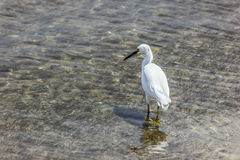 White Egret Wading in the Water royalty free stock photos