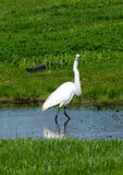 White egret in water Stock Images