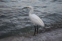 White Egret in Water Stock Photography
