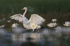Egret in water lily pond. White Egret in water lily pond royalty free stock image