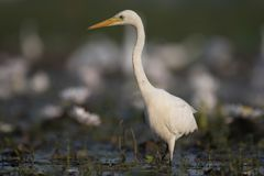 Egret in water lily pond. White Egret in water lily pond royalty free stock photography