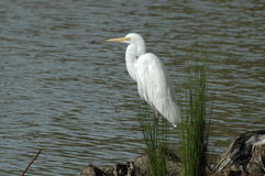 White egret on waterfront royalty free stock images