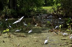 White Egrets in Everglades Swamp Stock Images