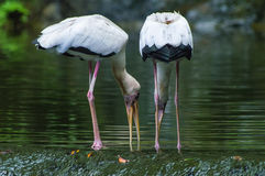 White Egrets feeding Stock Photo