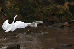 White egrets fight Royalty Free Stock Image