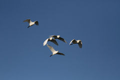 White egrets in flight Royalty Free Stock Image