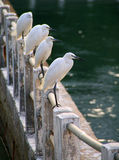 White egrets on the lake shore in Xiamen Stock Photography
