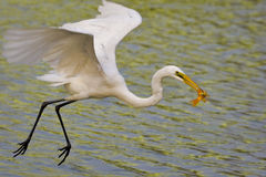 White egrets predator Stock Photography